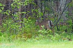 NS-00949 - Deer Crossing