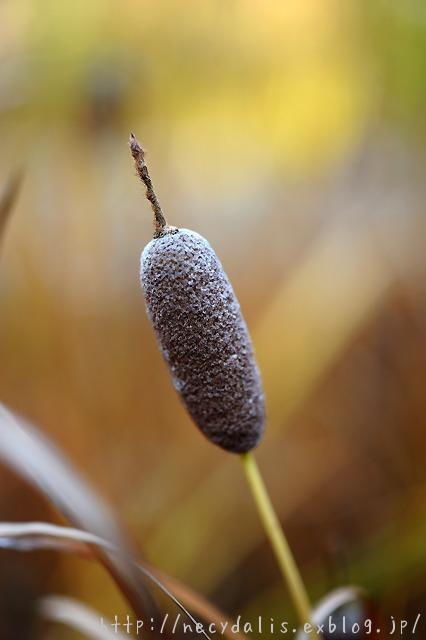 コガマ [Typha orientalis]