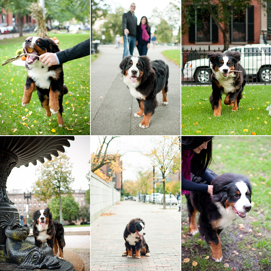 Download Bernese Mountain Dog Chubby Adorable Dog - 6414840029_bfb7524abe_o  Best Photo Reference_489979  .jpg