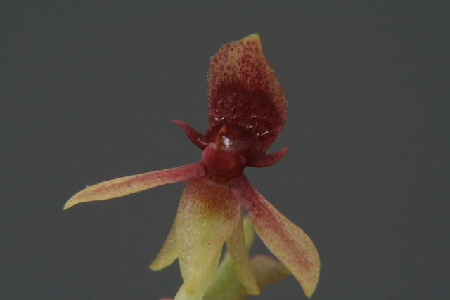 Stellilabium andinum