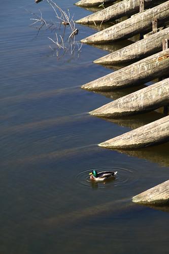 duck prague