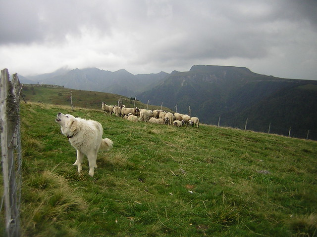 Sheepdog guarding sheep in the Monts d'Auvergne, Puy de Dôme