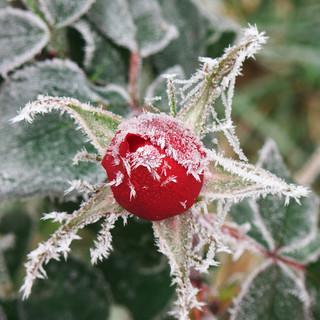 Frozen Rosebud