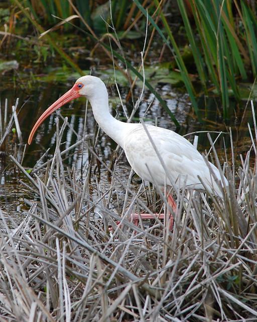 White Ibis - 3