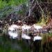 Ibis on the Wacissa River