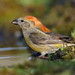 Common Crossbill, Loxia curvirostra. female,