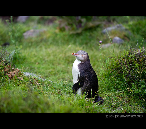 Pohatu Penguin [3108] by josefrancisco.salgado