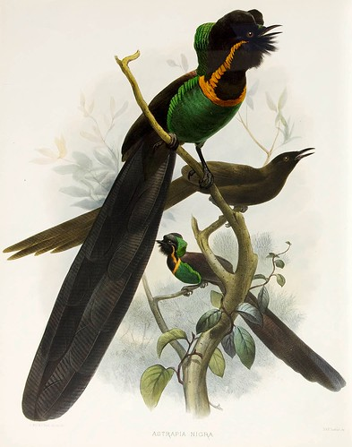 019-Incomparable Ave del Paraiso-A Monograph of the Paradiseidae-1873 D.G. Elliot