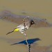 Small photo of African Red-eyed Bulbul (Pycnonotus nigricans)