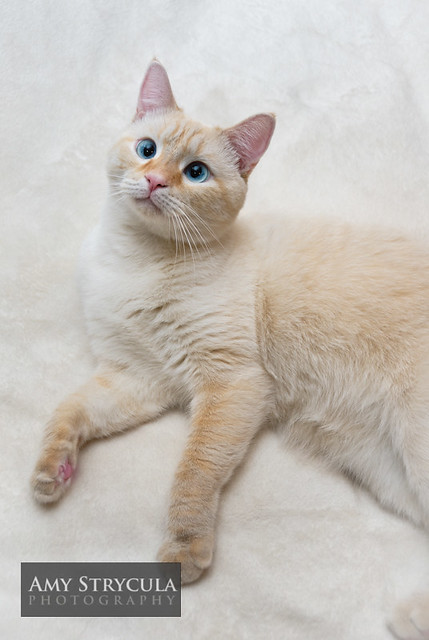 Flame Point Siamese Cat Images & Pictures - Becuo