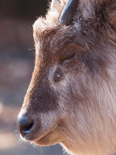 多摩動物公園 ニホンカモシカ