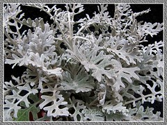 Newly purchased pot of Artemisia stelleriana 'Silver Brocade'