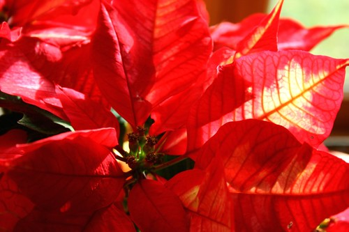 Poinsettia1Dec2011