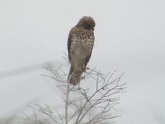 Broad-winged Hawk, Everglades NP, FL