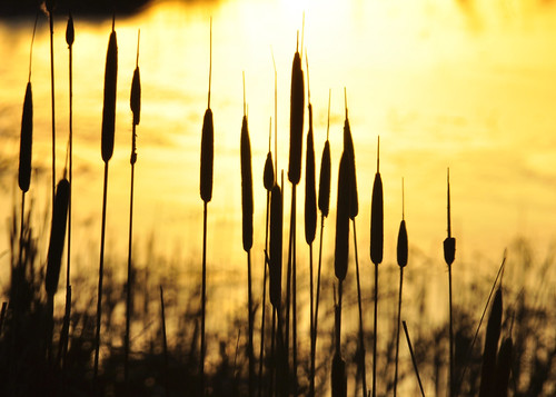 02-10-12 Cattails by roswellsgirl