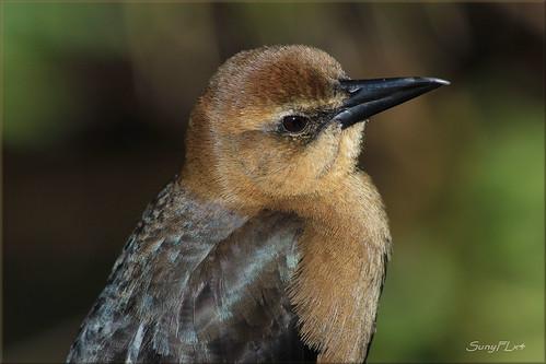 birds grackle boattailedgrackle