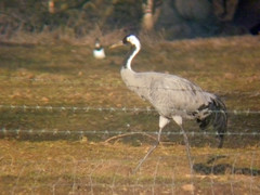 Common Crane, Nosterfield