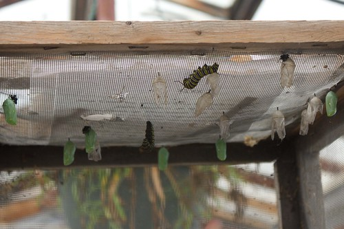 Monarch larvae (caterpillar) and chrysalis