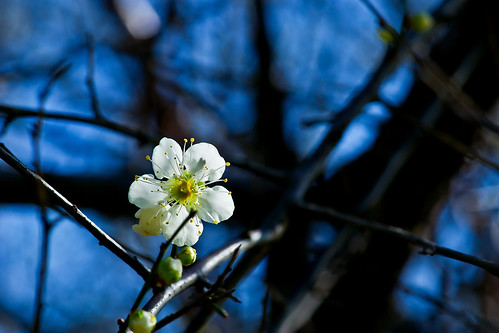 美梅 - Plum blossoming - Taichung City