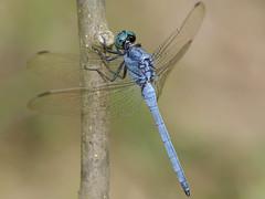 3.呂宋蜻蜓,具有水藍色的眼睛,常出現於池沼邊。