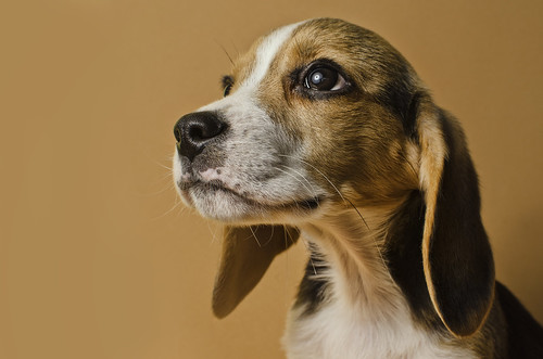 無料写真素材, 動物 , 犬・イヌ, ビーグル