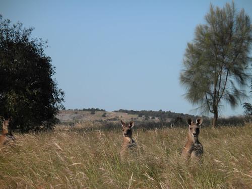 Gellibrand kangaroos, 2011-12-05 (PC050085)
