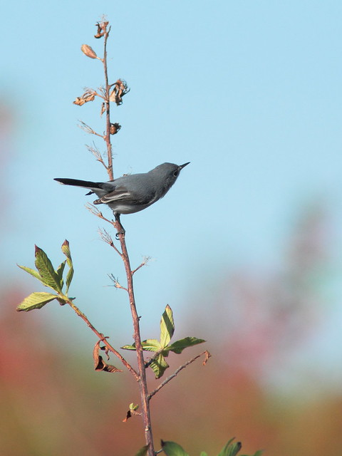 Blue-gray Gnatcatcher 2-20120120