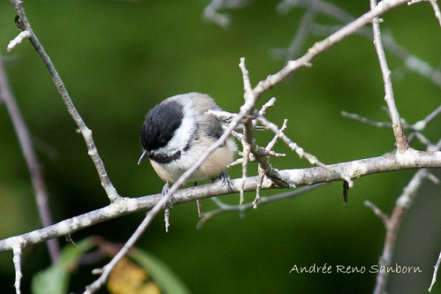 Black-capped Chickadee-8.jpg