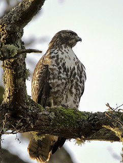 Red-tailed Hawk (Buteo jamaicencis) In Evening Light