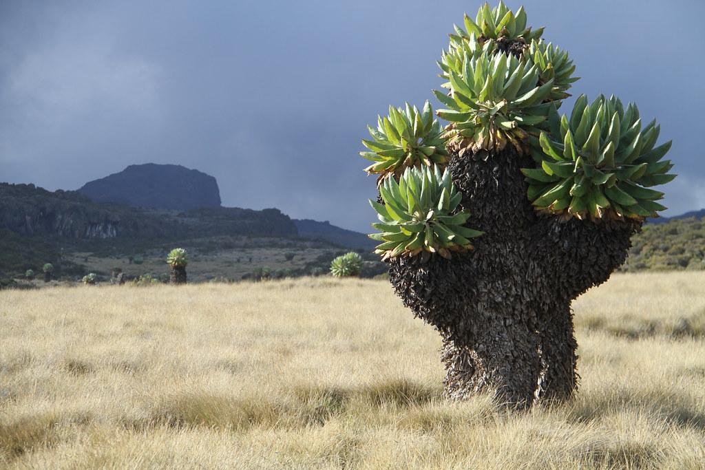 IMG_3479 Dendrosenecio kilimanjari (tree groundsel) spp cottonii, Mt Kilimanjaro