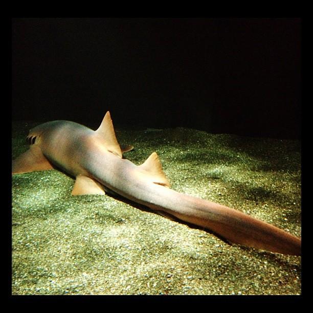 Resting shark.