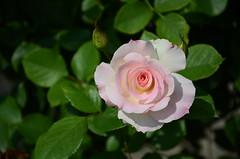 blossom(0.0), shrub(0.0), camellia sasanqua(0.0), theaceae(0.0), garden roses(1.0), floribunda(1.0), flower(1.0), flora(1.0), camellia japonica(1.0), pink(1.0), petal(1.0),