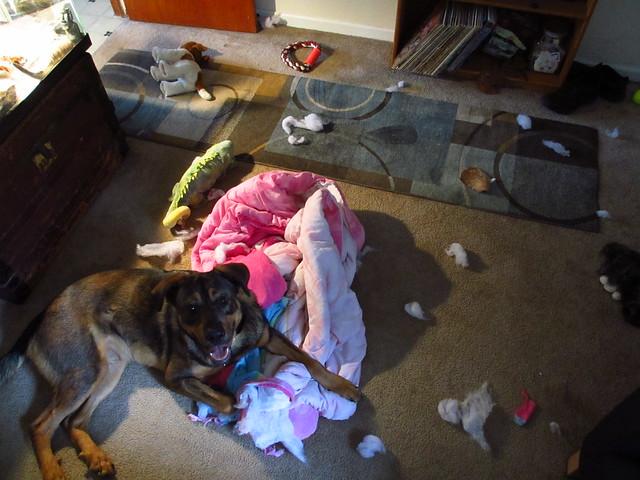 Happy dog eating blanket
