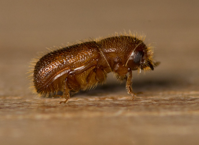 woodworm beetle adult 6
