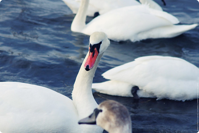Лебеди в Круглой бухте