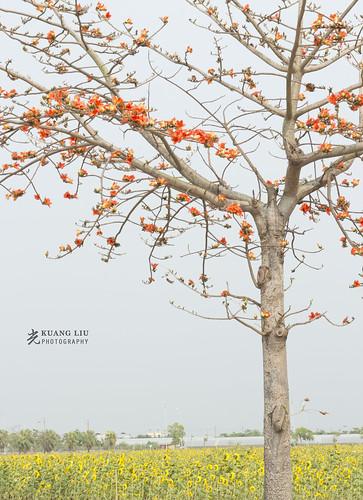 木棉樹與向日葵
