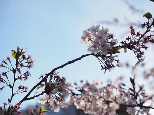 桜 2014 目黒川