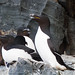 Small photo of Razorbill (Alca torda)