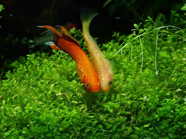 P4151058 黃金火焰鱂