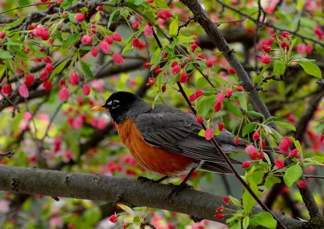 Robin/blossoms