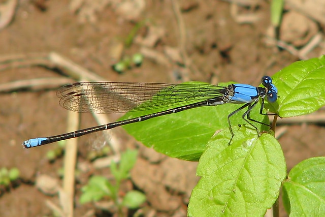 Blue-fronted dancer, male (Argia apicalis)