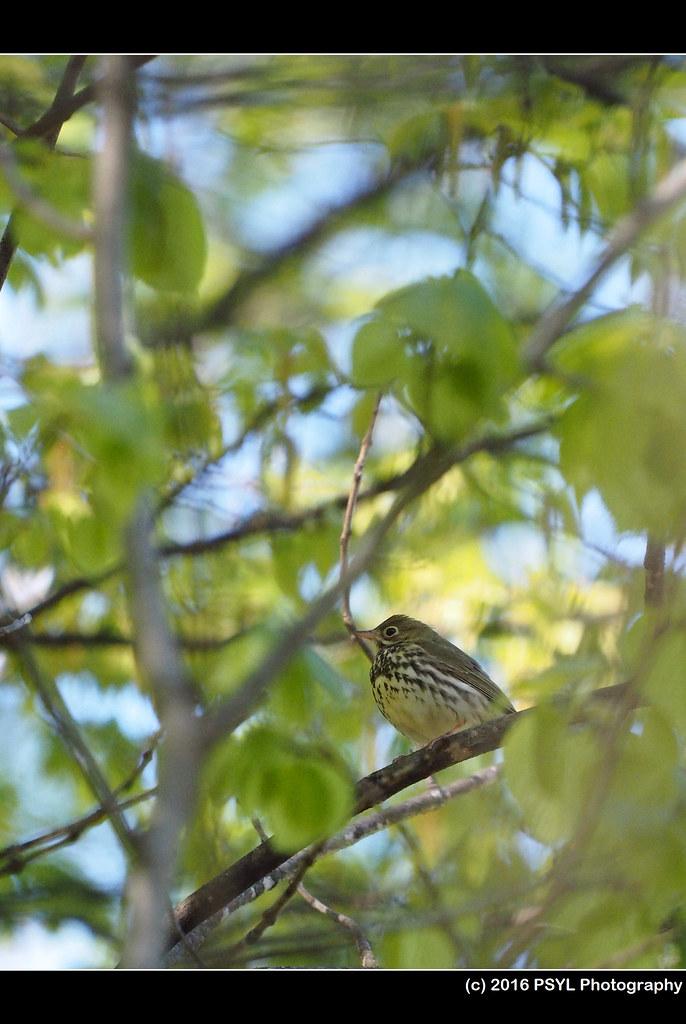 Ovenbird (Seiurus aurocapilla)