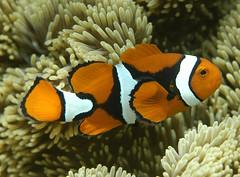 coral reef, animal, anemone fish, coral, fish, yellow, coral reef fish, organism, marine biology, macro photography, fauna, close-up, underwater, reef, sea anemone,