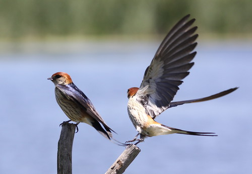 Greater Striped Swallow, Hirundo cucullata (syn. Cecropis cucullata) at Marievale Nature Reserve, Gauteng, South Africa
