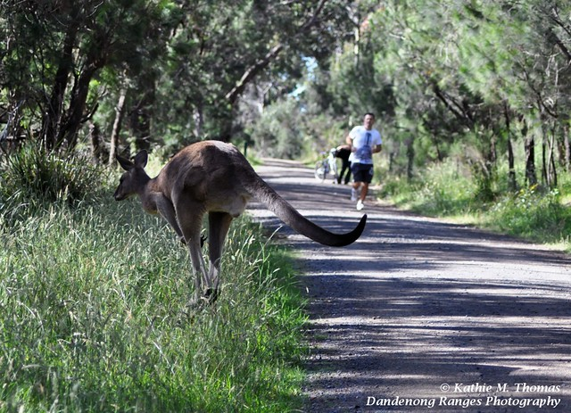 Eastern Grey Kangaroo crossing the shared pathway