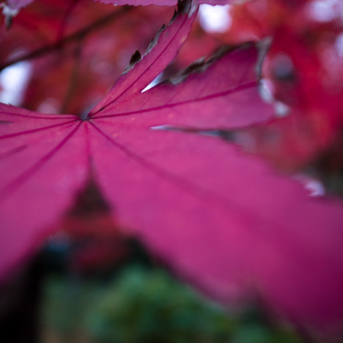 Burgundy Japanese Maple (Momiji 紅葉)