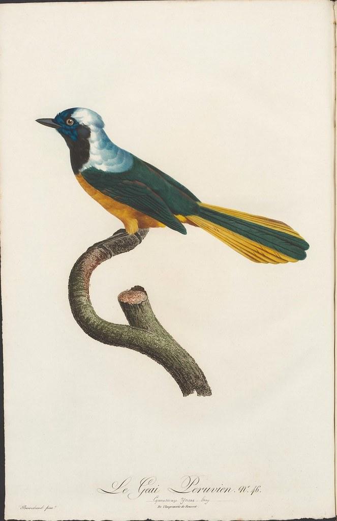Le Geai Peruvian no. 46