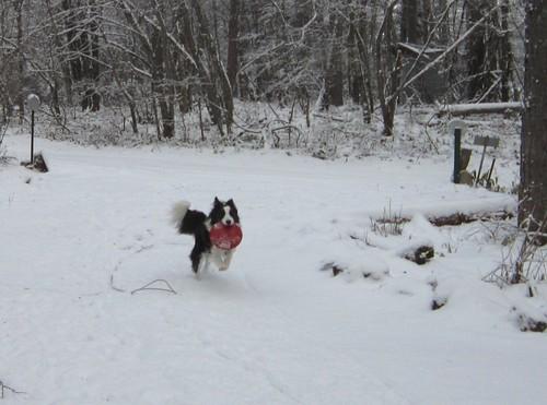 フリスビーを持ってくるランディ 2011年12月9日0930 by Poran111
