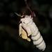 Small photo of Indian moon moth (Actias selene)