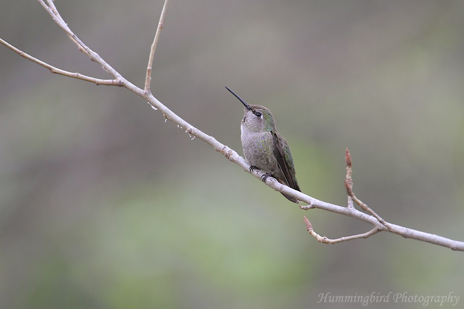 Anna's Hummingbird 091311